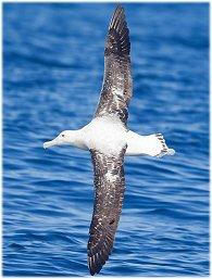 A wandering Albatross dynamic soaring